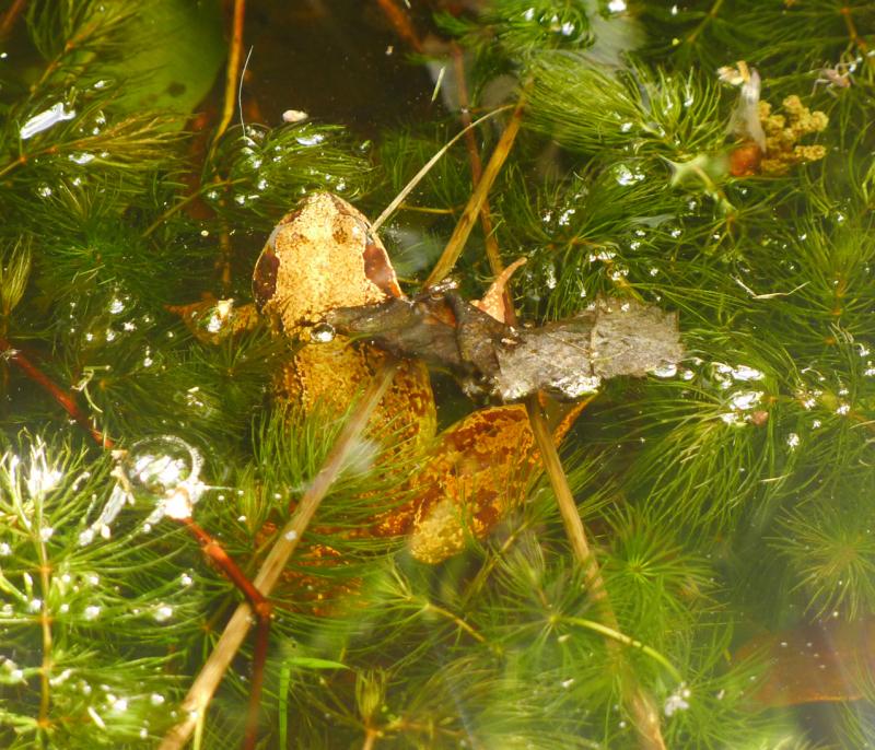Bumblehill frog
