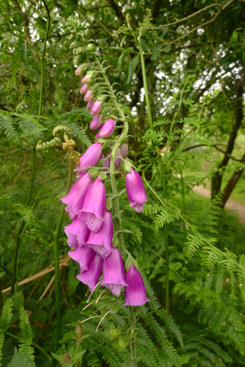 Devon foxgloves