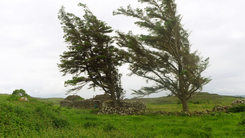 Trees in the ruins of a blackhouse.