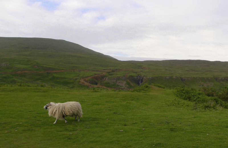 A sheep trots after the herd