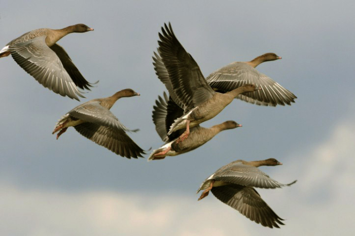 Pink-footed geese in flight. (Photography from the Norfolk Wildlife Trust)