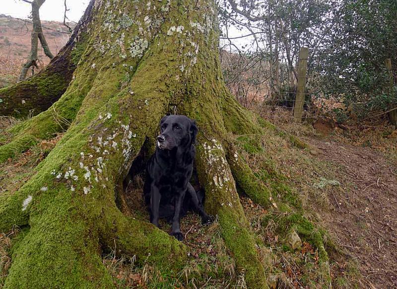 Oak dog
