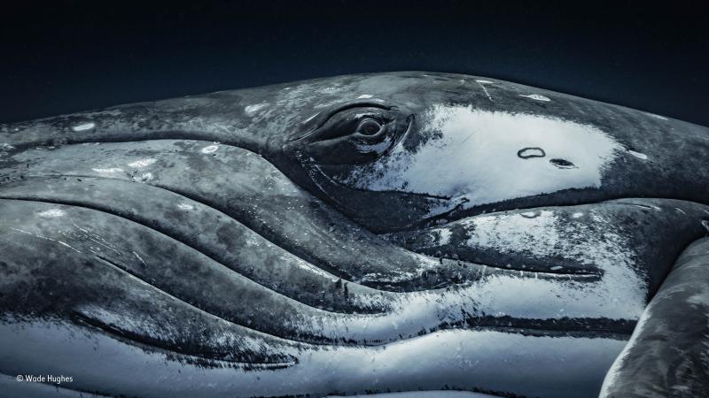 Female humpback whale  by Wade Hughes