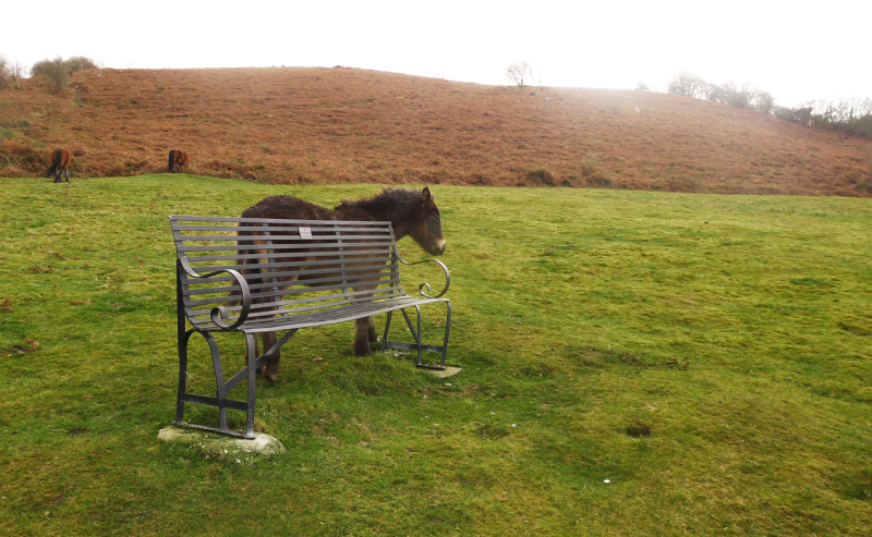 Dartmoor pony by the Commons bench