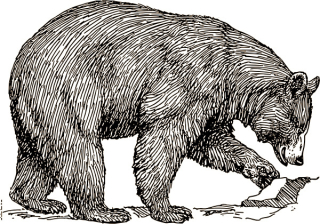 Black bear  drawing, artist unknown