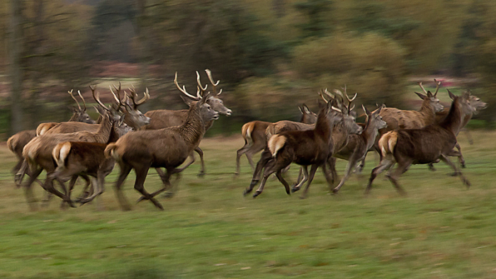 Running Deer by Alex Herbert