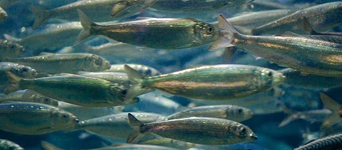 A shoal of herring