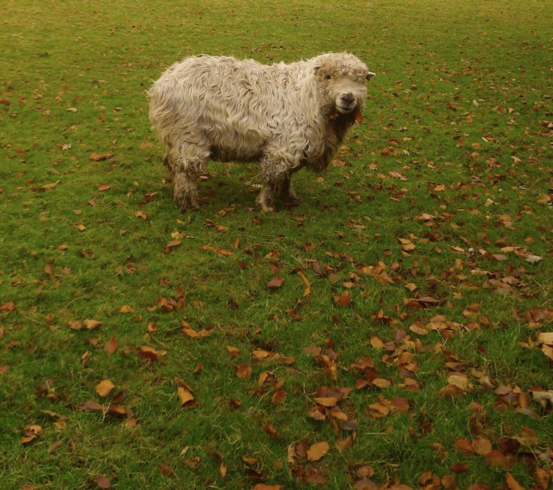 A neighbour's sheep
