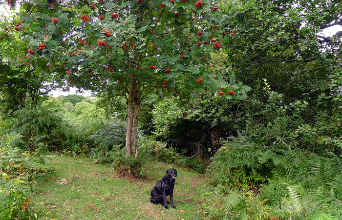 Tilly under the rowan  a tree beloved by the fairies