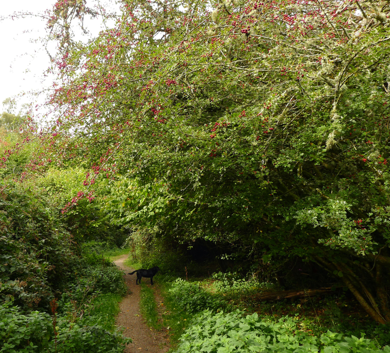 Hawthorne path