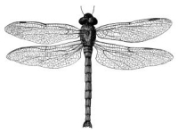 vintage dragonfly drawing
