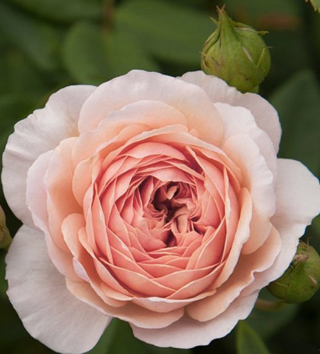 The William Morris rose