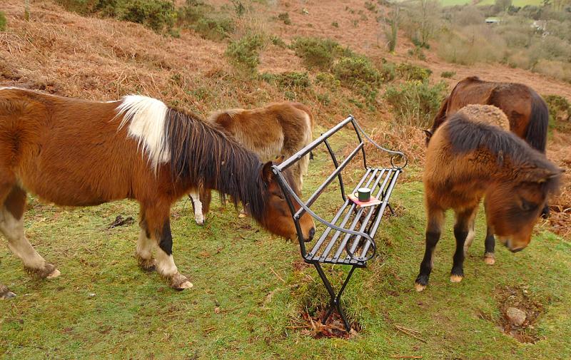 Dartmoor ponies 4