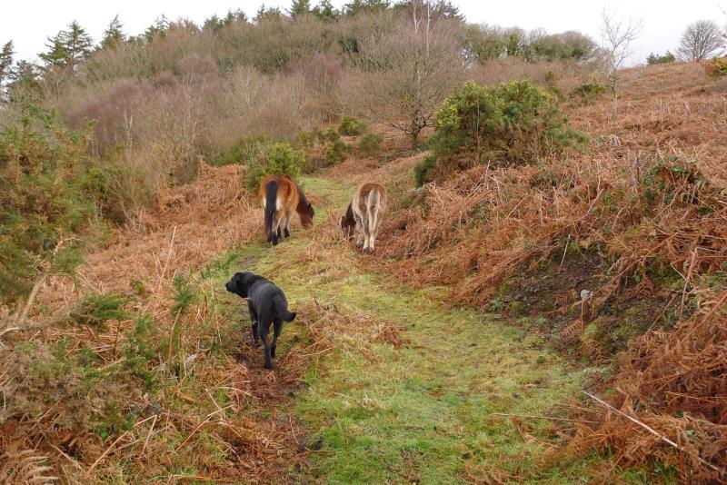 Dartmoor ponies 9