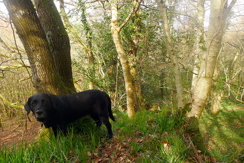 Hound at the woodland's edge