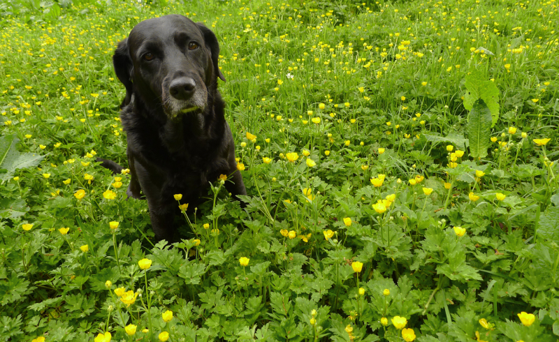 Hound in the buttercups