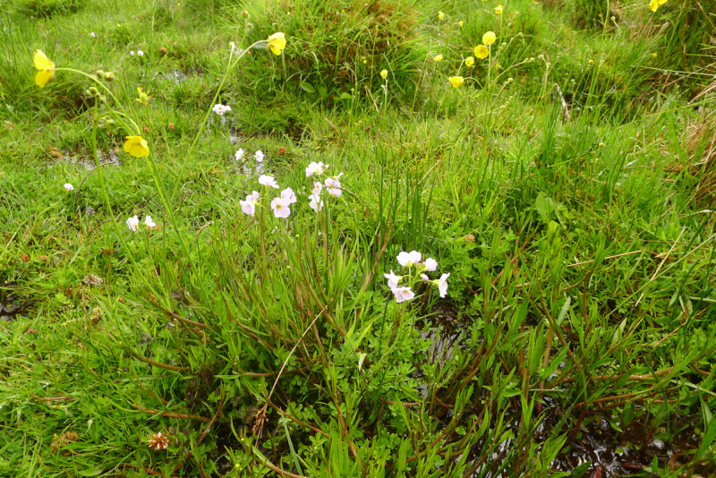 Cuckoo flowers and buttercups