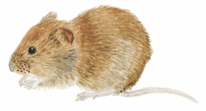 Bank Vole by Emma Mitchell