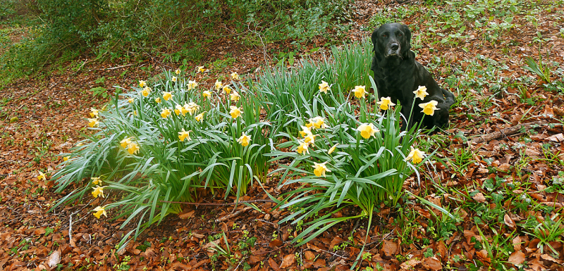 Wild daffodils and hound