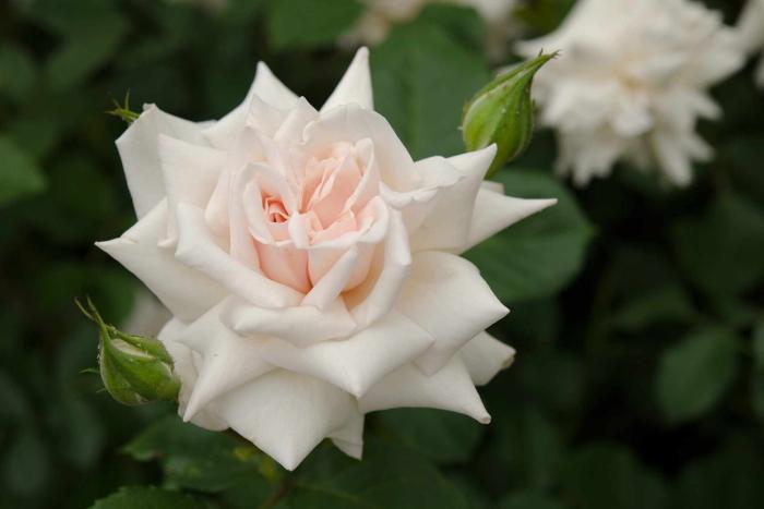 The Beatrix Potter rose