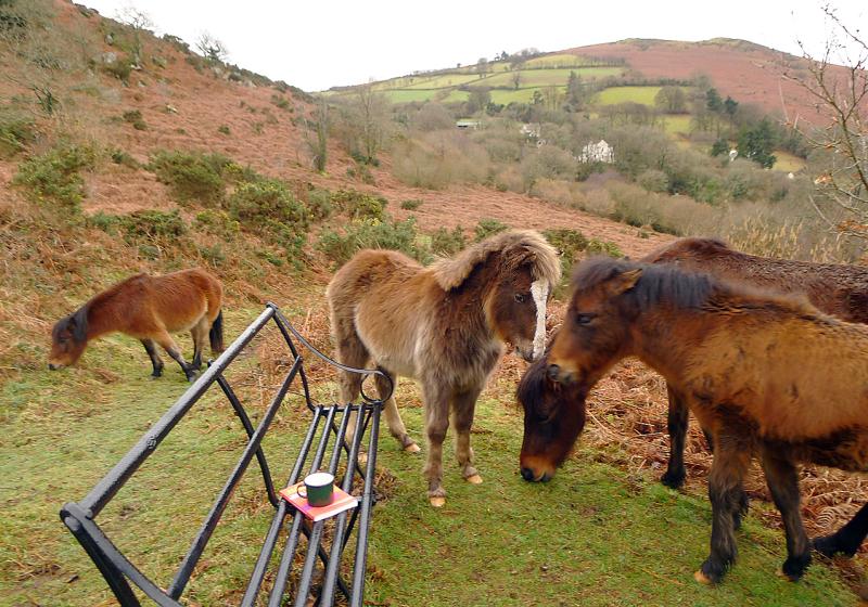Dartmoor ponies 7