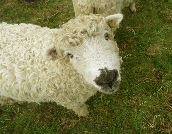 A sheep with an expression very much like Tilly's