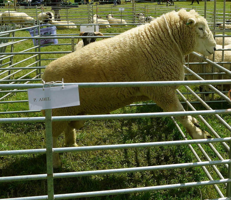 Prize-winning sheep