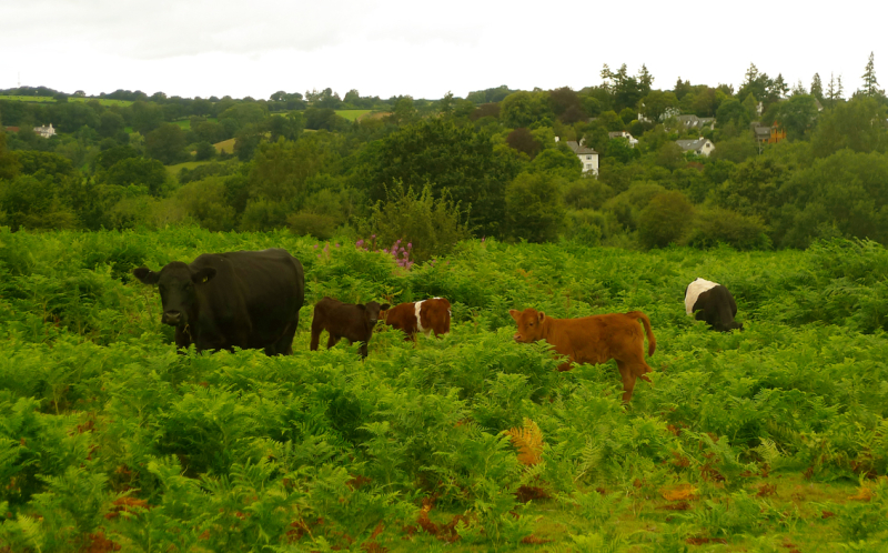 Cows on the Commons