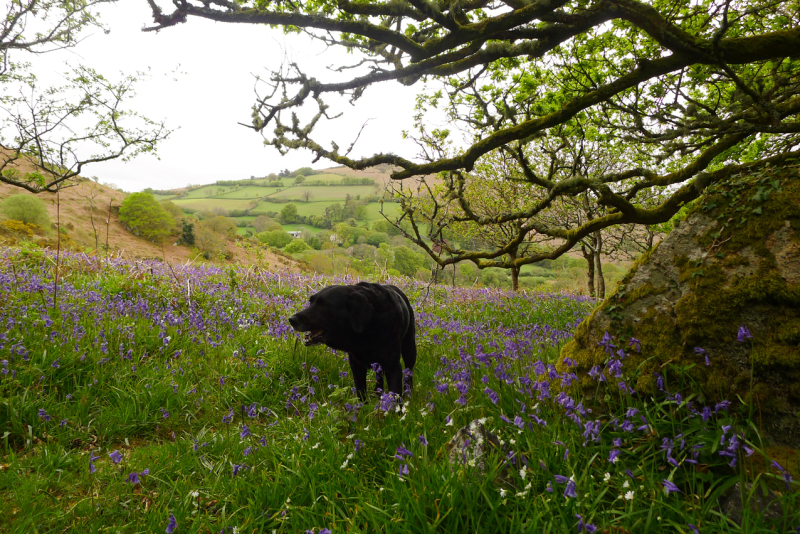 Bluebells and rain