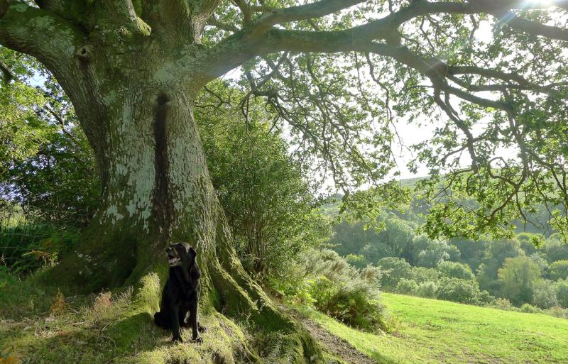 Oak Elder 2