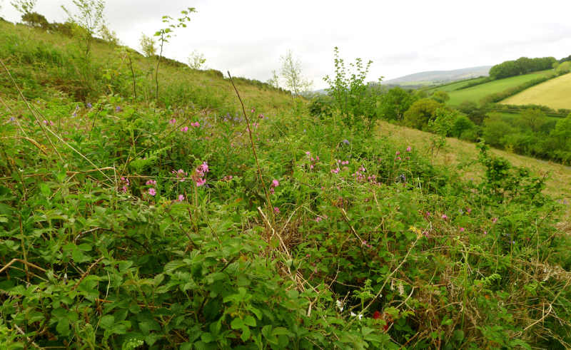 Red campion in the bracken and briars.