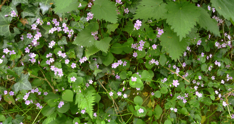 Pink stitchwort, nettles, ivy, and ferns.