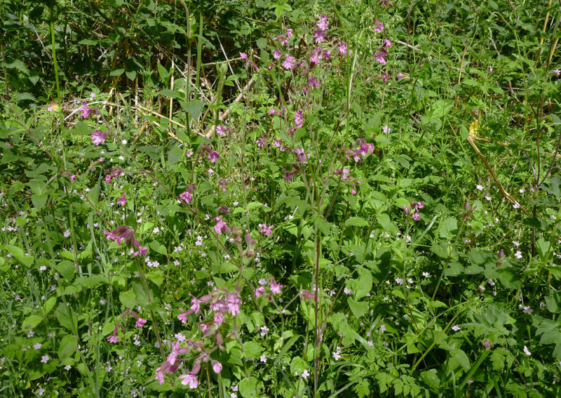 Nettles, ragged robin, and piskie flowers