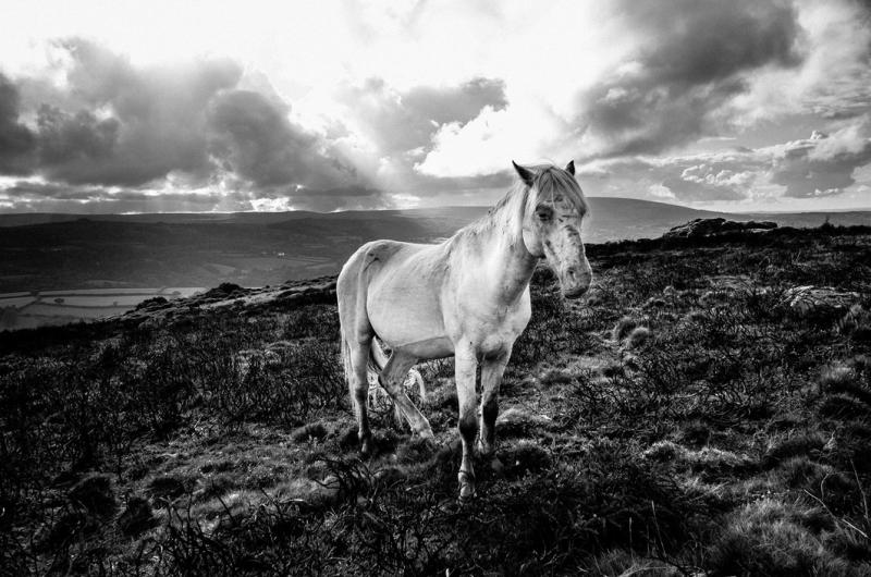 Dartmoor Pony by Simon Blackbourn