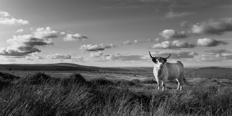 Highland Cattle on Dartmoor by Simon Blackbourn