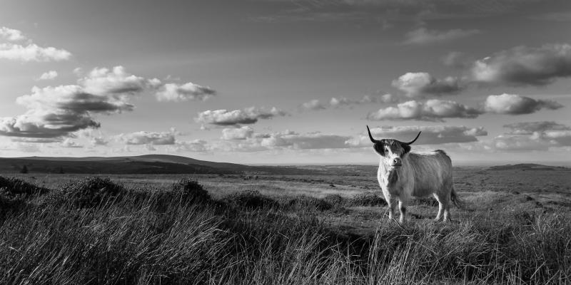 Highland Cattle on Dartmoor by Simon Blackbourn