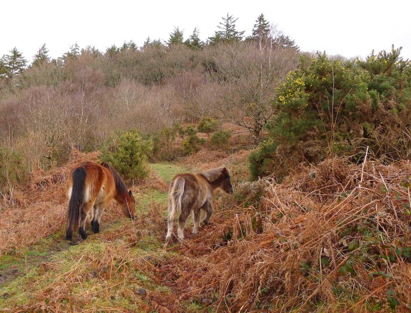 Dartmoor ponies 8