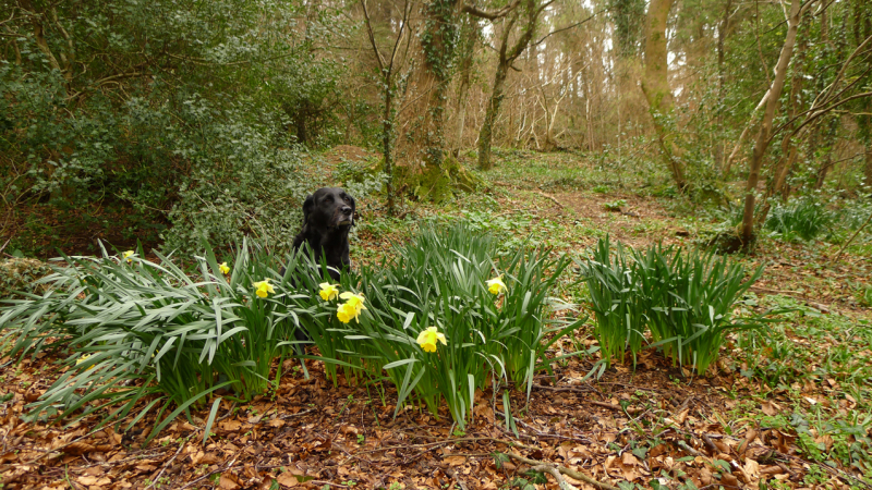 Hound and daffodils