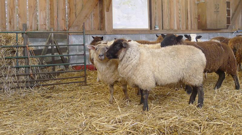 Sheep 12