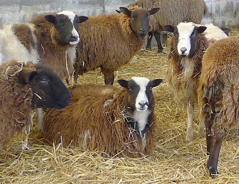 Sheep 14