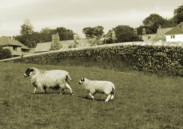 O'er Hill sheep, Chagford