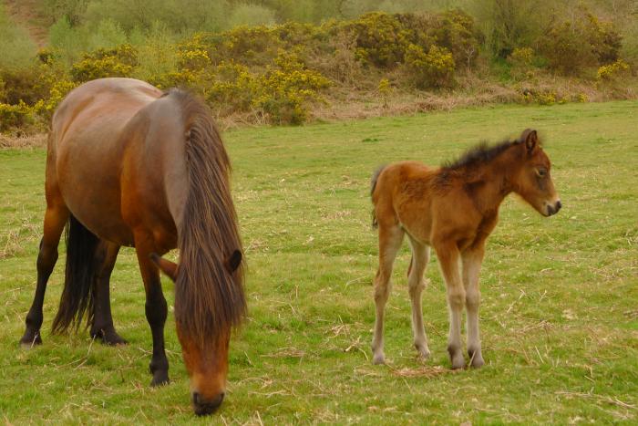 Dartmoor pony and foal