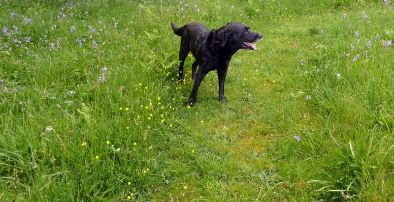 Meadow dog