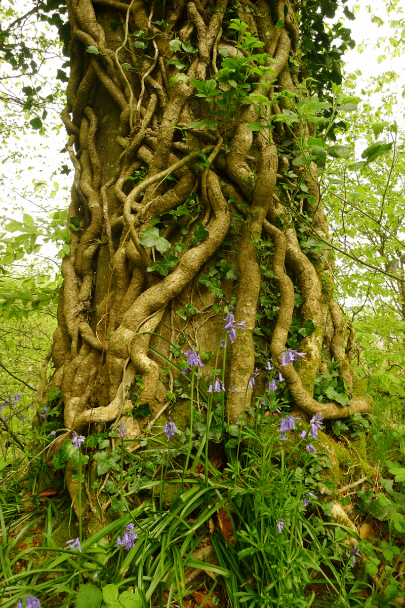 Bluebells and old ivy