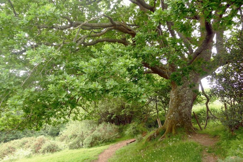 Oak Elder 3