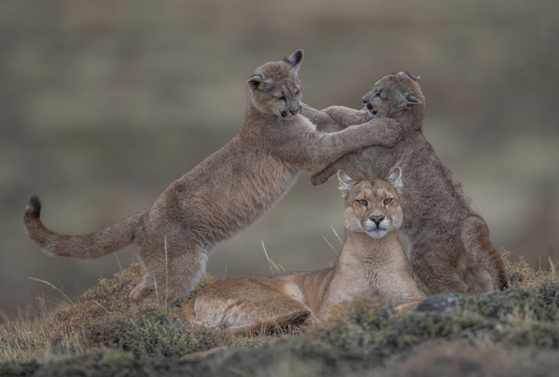 Portrait of a Mother (wild pumas) by Ingo Arndt