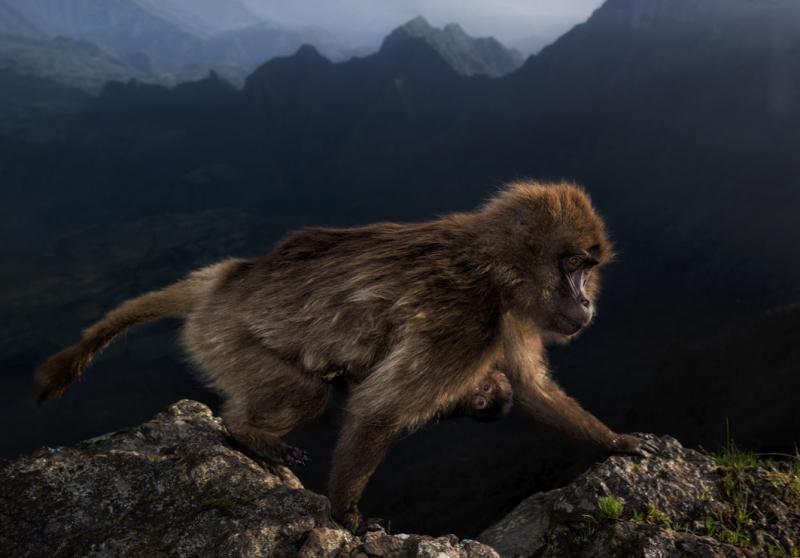 Early Riser (female gelada, Ethiopian highlands) by Riccardo Marchegiani