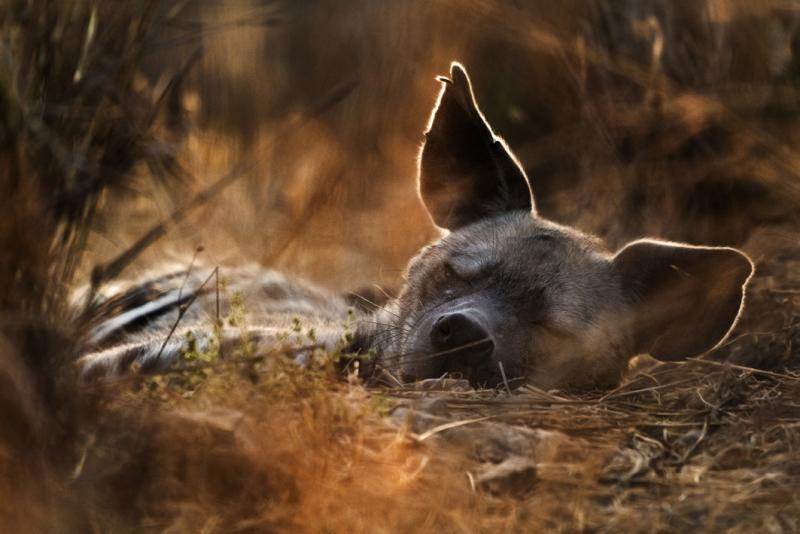 The Charm of Ruthy (female striped hyena) by Ariel Fields