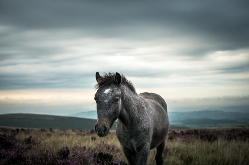 Dartmoor Foal by Simon Blackbourn