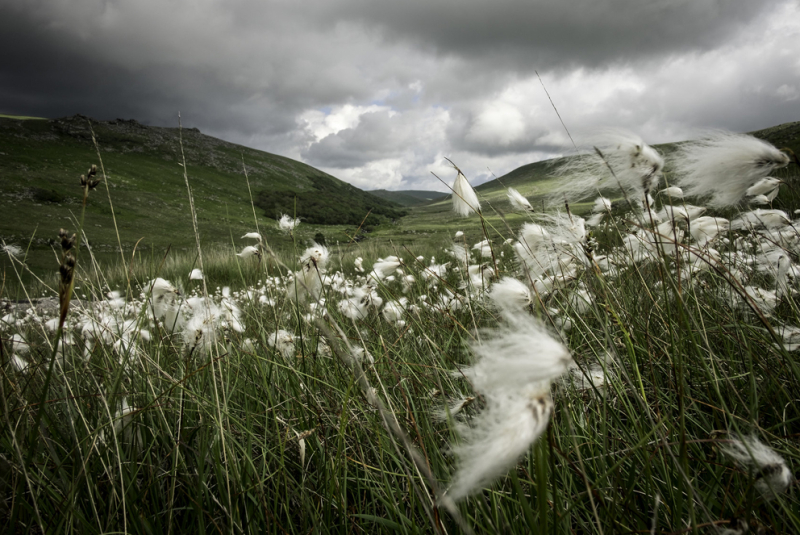 Bog Cotton on Branscombe Loaf by Simon Blackbourn